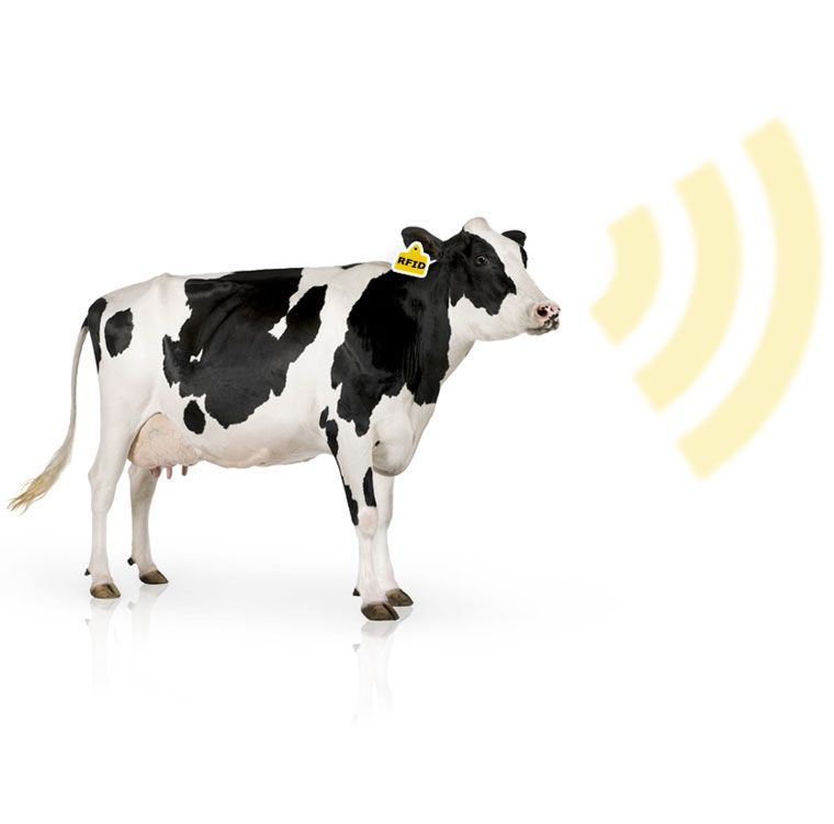 electronic ear tags cattle